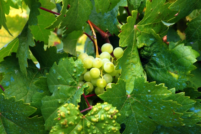 Godello Grapes, Galicia