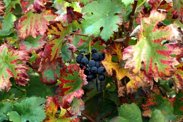 Mencia grapes, Galicia
